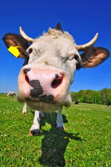 Free Cow On A Summer Pasture Stock Image - 20147711