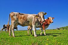 Free Cowson A Summer Pasture Royalty Free Stock Photography - 20147727