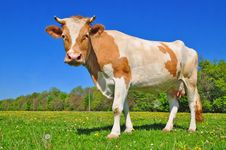 Free Cow On A Summer Pasture Stock Photo - 20147750