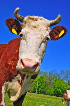 Head Of A Cow Stock Image