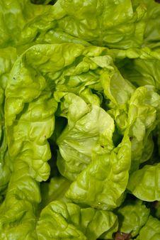Free Lettuce Royalty Free Stock Photos - 20147928