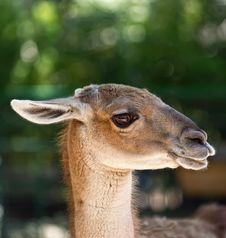 Free Portrait Of Guanaco Royalty Free Stock Images - 20148289