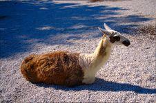 Free Lama Stock Photo - 20148780