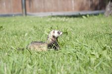 Free Ferret Walking In The Grass Stock Photo - 20149110
