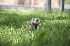 Free Ferret Walking In The Grass Stock Photos - 20149173