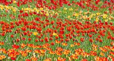 Free Yellow And Red Tulips Stock Image - 20149931