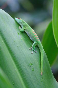 Free Green Gecko Royalty Free Stock Image - 20150016