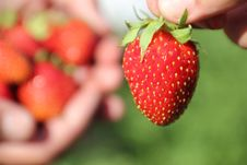 Free Strawberries Royalty Free Stock Images - 20150339