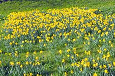 Free Field Of Daffodils Royalty Free Stock Photo - 20152505