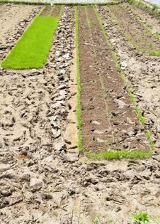 Free Rice Seedlings Royalty Free Stock Images - 20152659