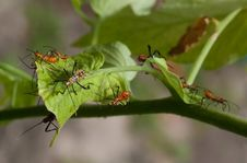 Leaf Footed Stink Bug Nymphs On Tomato Plant Leaf Royalty Free Stock Images