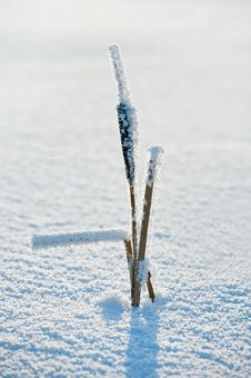 Free Cattail In The Frost Stock Images - 20153434