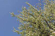 Free Pear - Blossom Stock Photo - 20154590