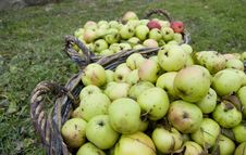 Free Fresh Green Apples In Baskets Stock Photography - 20154792