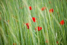 Free Poppies Royalty Free Stock Images - 20154949