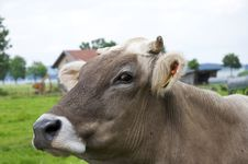 Free Cow Royalty Free Stock Image - 20154986