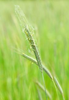 Free Grean Wheat Royalty Free Stock Image - 20155066