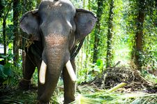Free Chained Elephant Royalty Free Stock Images - 20155589