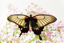 Papilio Lovii Royalty Free Stock Images