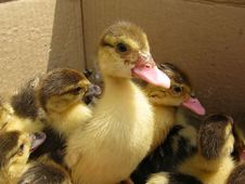 Free Ducklings Royalty Free Stock Photography - 20156187