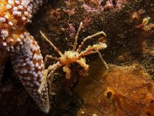 Free Anemone Crab (Inachus) Stock Image - 20156871