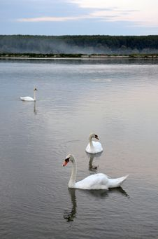 Swans In The Lake Stock Photography