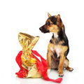 Free Miniature Pinscher With Gift Box Stock Photo - 20161280