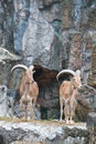 Free Brown Mountain Goat Royalty Free Stock Images - 20169739