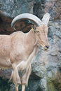 Free Brown Mountain Goat Royalty Free Stock Photo - 20169745
