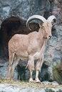 Free Brown Mountain Goat Royalty Free Stock Image - 20169756