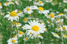 Free Camomiles Stock Photography - 20160172