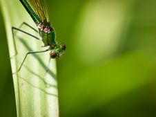 Free Damselfly Calopteryx Virgo Royalty Free Stock Photo - 20161295
