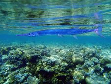 Free Flute Fish Stock Image - 20161601
