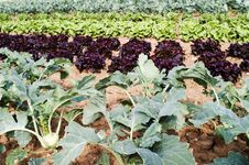 Free Field Salad Stock Photo - 20162150