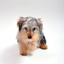 Free Yorkshire Terrier In Studio Stock Photography - 20162432