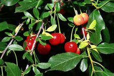 Free Branch Of Cerise Cherry Royalty Free Stock Photo - 20162785