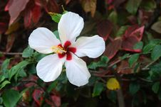 Free White Flower Of Hibiscus Stock Images - 20163124