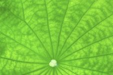 Free Close Up Of Lotus Leaf Royalty Free Stock Photos - 20163148