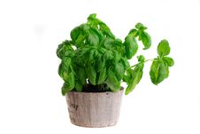 Free Basil Pot Stock Image - 20164361