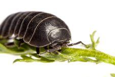Free Woodlice Bug Royalty Free Stock Image - 20164916