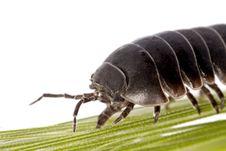 Free Woodlice Bug Stock Photography - 20164952