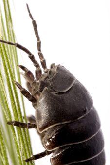Free Woodlice Bug Royalty Free Stock Photos - 20164958