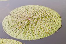 Free Lotus Leaves Royalty Free Stock Images - 20165059