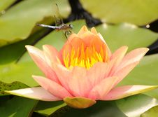 Free Dragonfly On Waterlily Stock Photos - 20165253