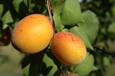 Free Two Apricots On Tree Stock Images - 20165474