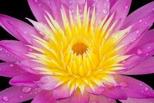 Free Lotus Petals Royalty Free Stock Image - 20165476