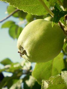 Free Apple Tree Stock Photography - 20165702