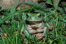 Free Tree Frog Look Into The Camera Stock Images - 20166564