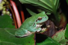 Free Frog Sitting On A Leaf Stock Photo - 20166650