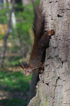 Free Squirrel Is Climbing Down The Tree Royalty Free Stock Image - 20166816